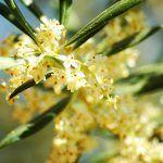 Flor de olivo.
