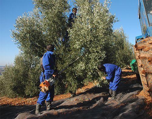 Recogida del fruto para Aceites Valdezarza.
